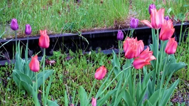 fényes piros kert tulipán, mint a virágok park dekoráció