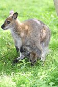 Fotografia una femmina di canguro con cucciolo in un sacchetto