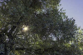 view of sun beams through green tree leaves