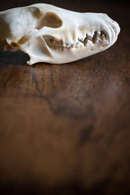 coyote skull on wooden background