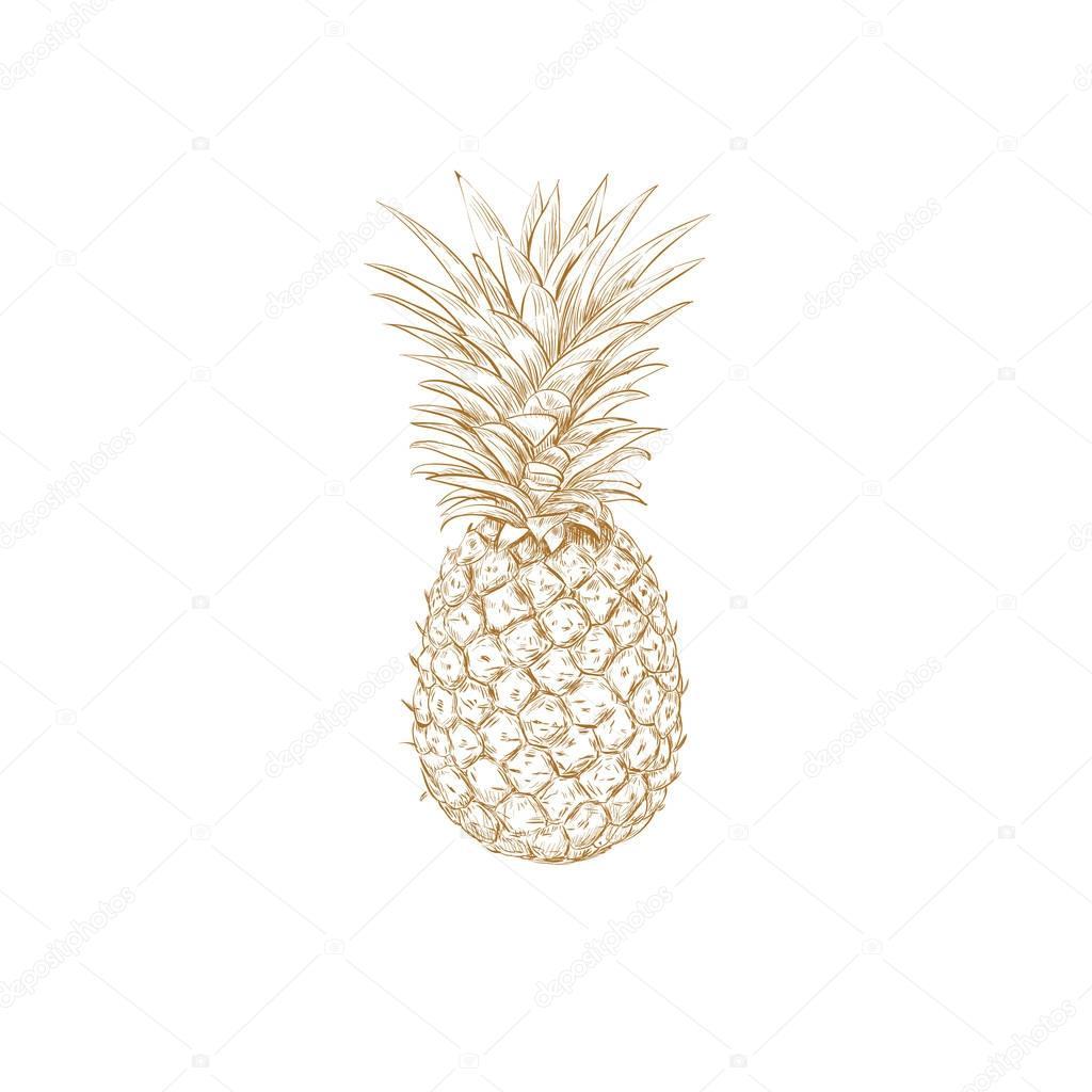 Pineapple sketch vector illustration. Pineapple