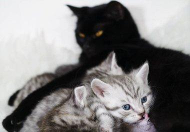 mammilla nipple of a cat. The kitten sucks the breast.