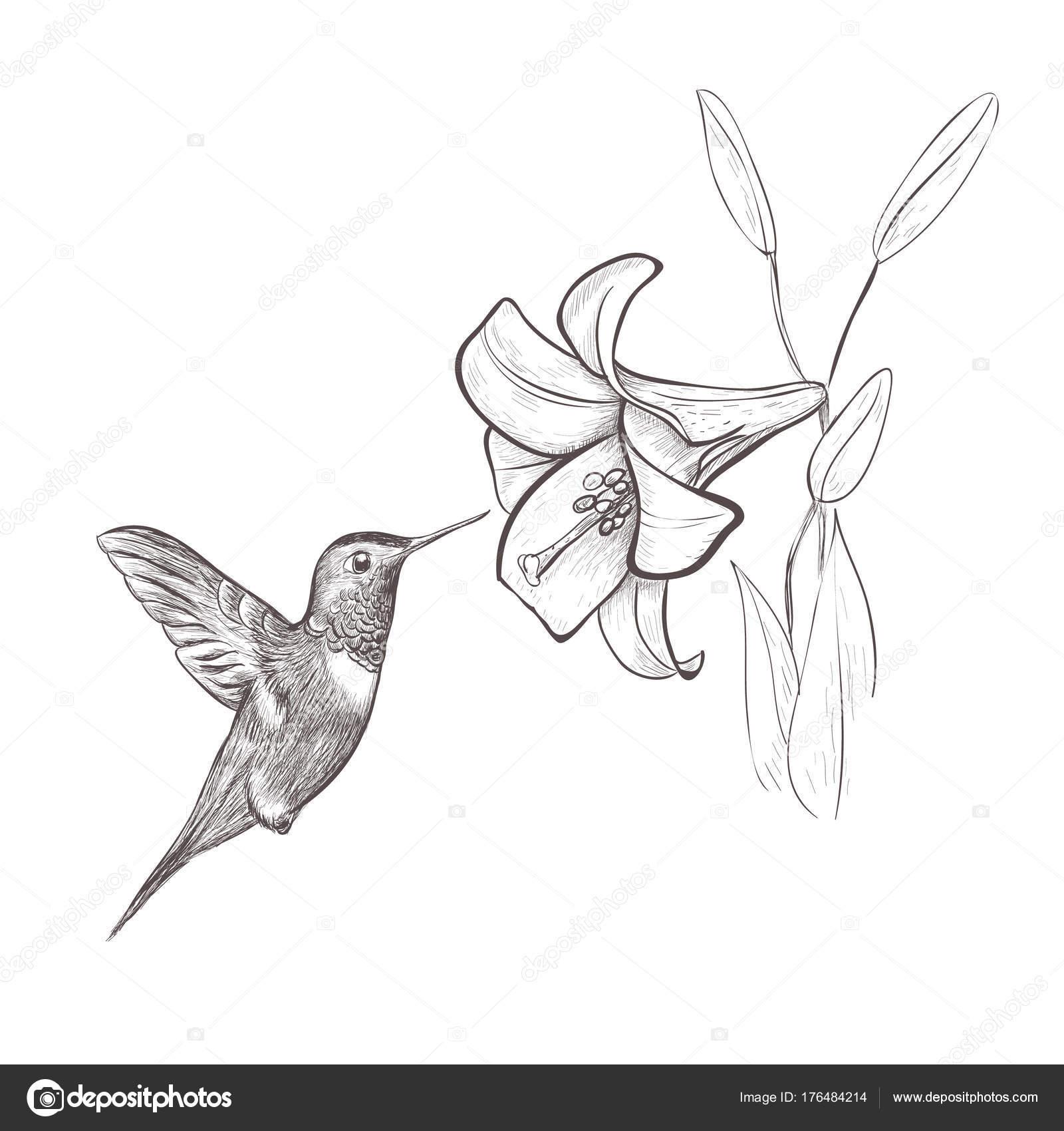 Flor de néctar de pájaro colibrí. Colibrí y lily — Vector de stock ...