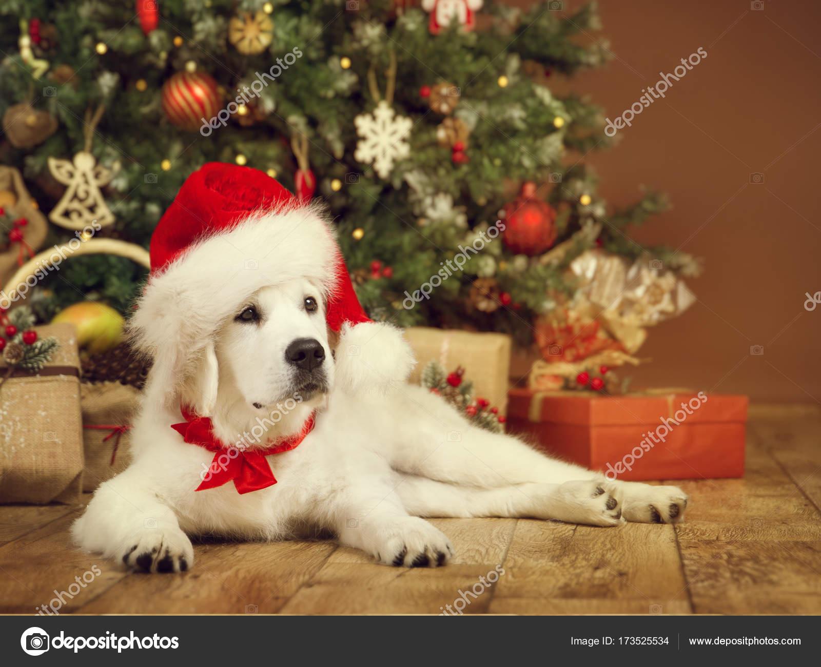 Weihnachten Hund, weißen Welpen Retriever in Nikolausmütze, Neujahr ...