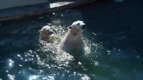 Polar bear mother with cub swimming and playing in pool