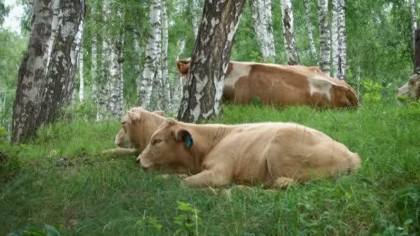 Krávy leží na zelené trávě