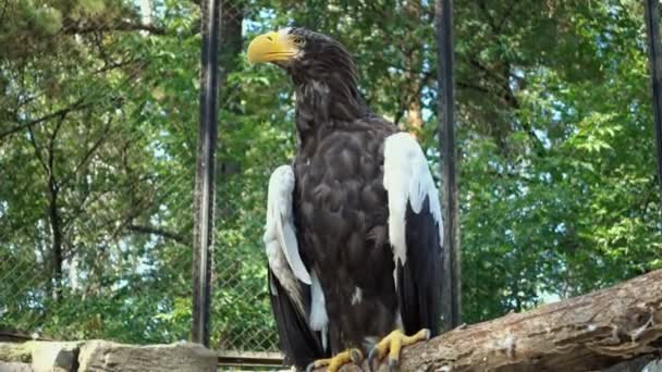 White-winged eagle in cage in zoo close up.