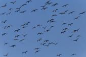 zblízka hejna velkých kormoránů letících na modré obloze