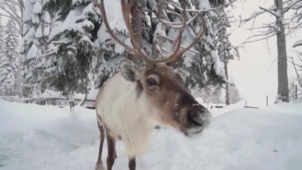 Egyedülálló férfi rénszarvas szemben a kamera az erdőben Lappföldön, Svédországban. Északi rénszarvasok. Szarvasok a havas lappföldön