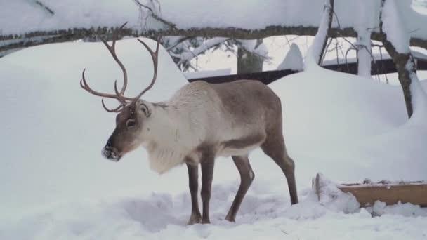 Síközpontok szórakoztatására. Szarvas a téli erdőben. Szarvasgazdaság.