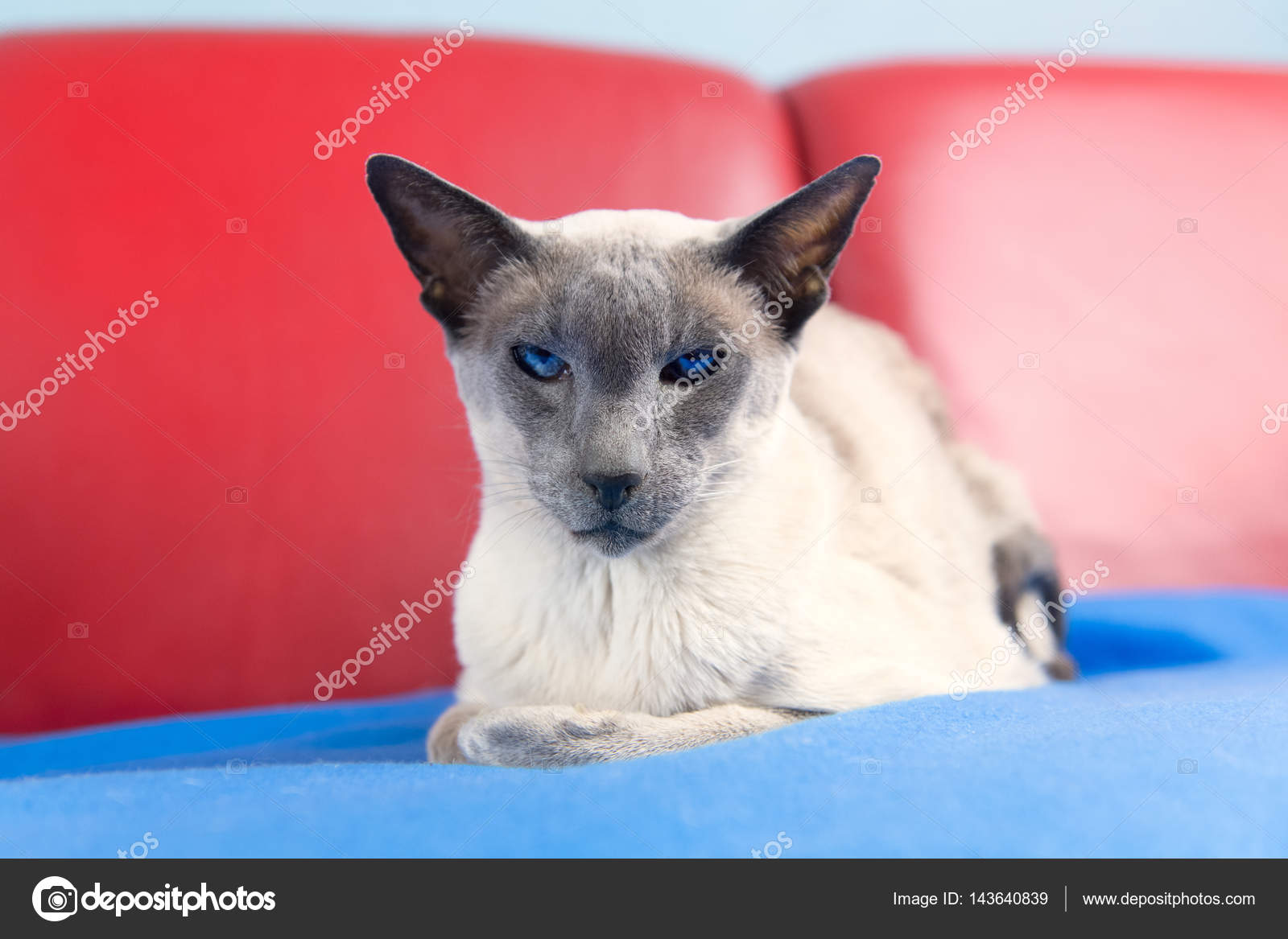 Gatto Siamese Blu Point Foto Stock Ivonnewierink 143640839