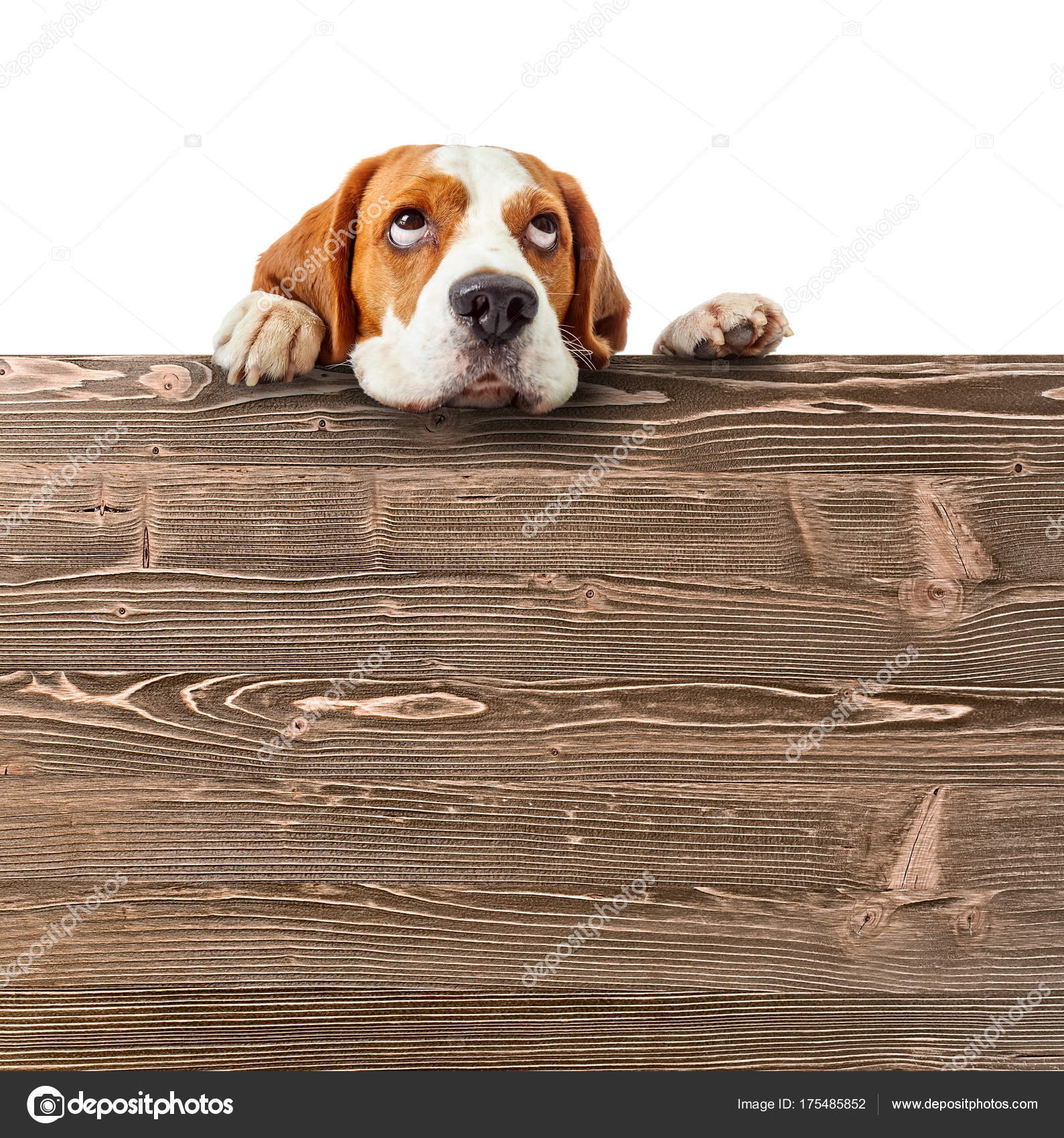 Cute Beagle Puppy Looking At The Top Stock Photo C Igorr1 175485852