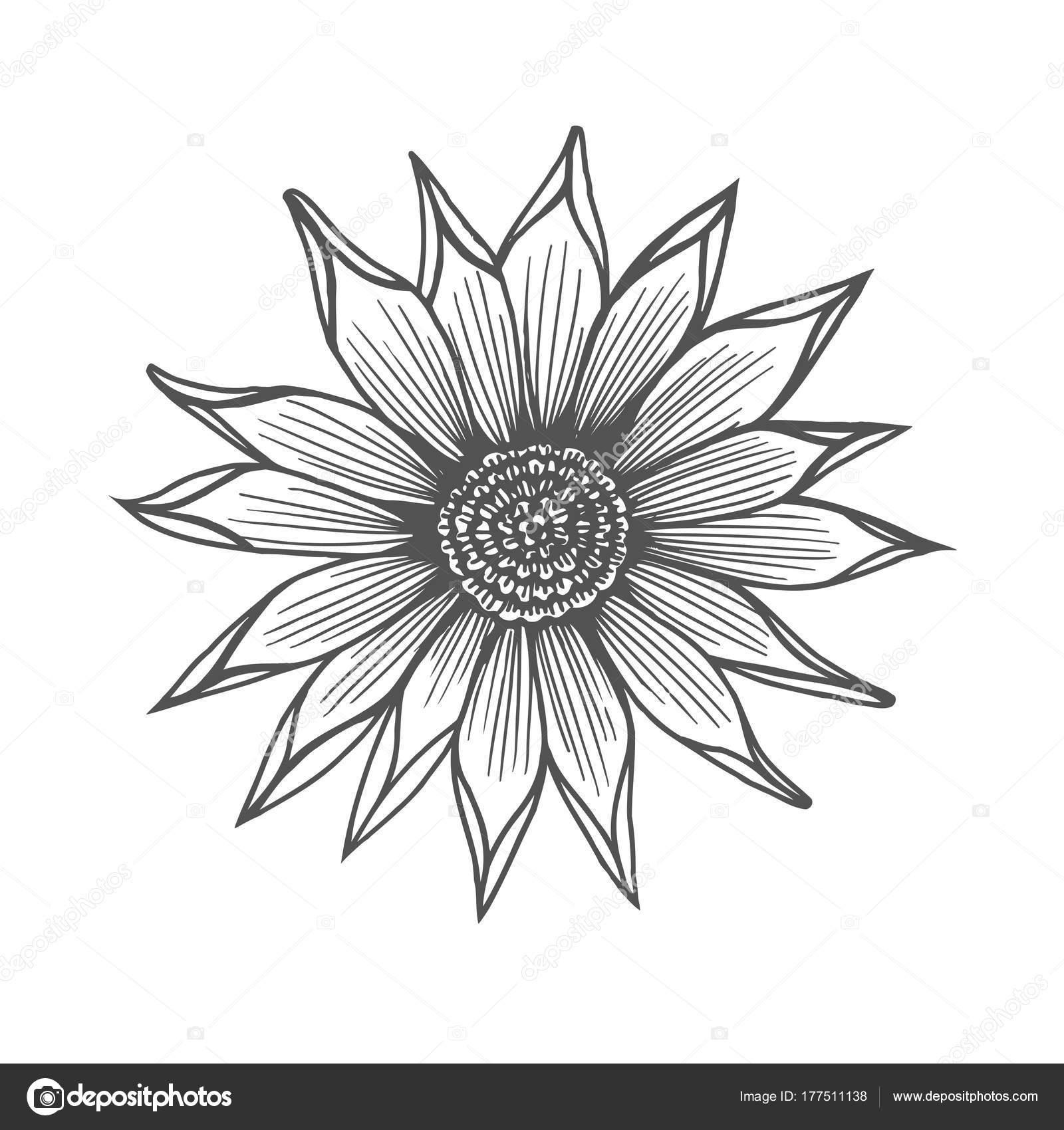 Ilustración de flor de crisantemo — Archivo Imágenes Vectoriales ...