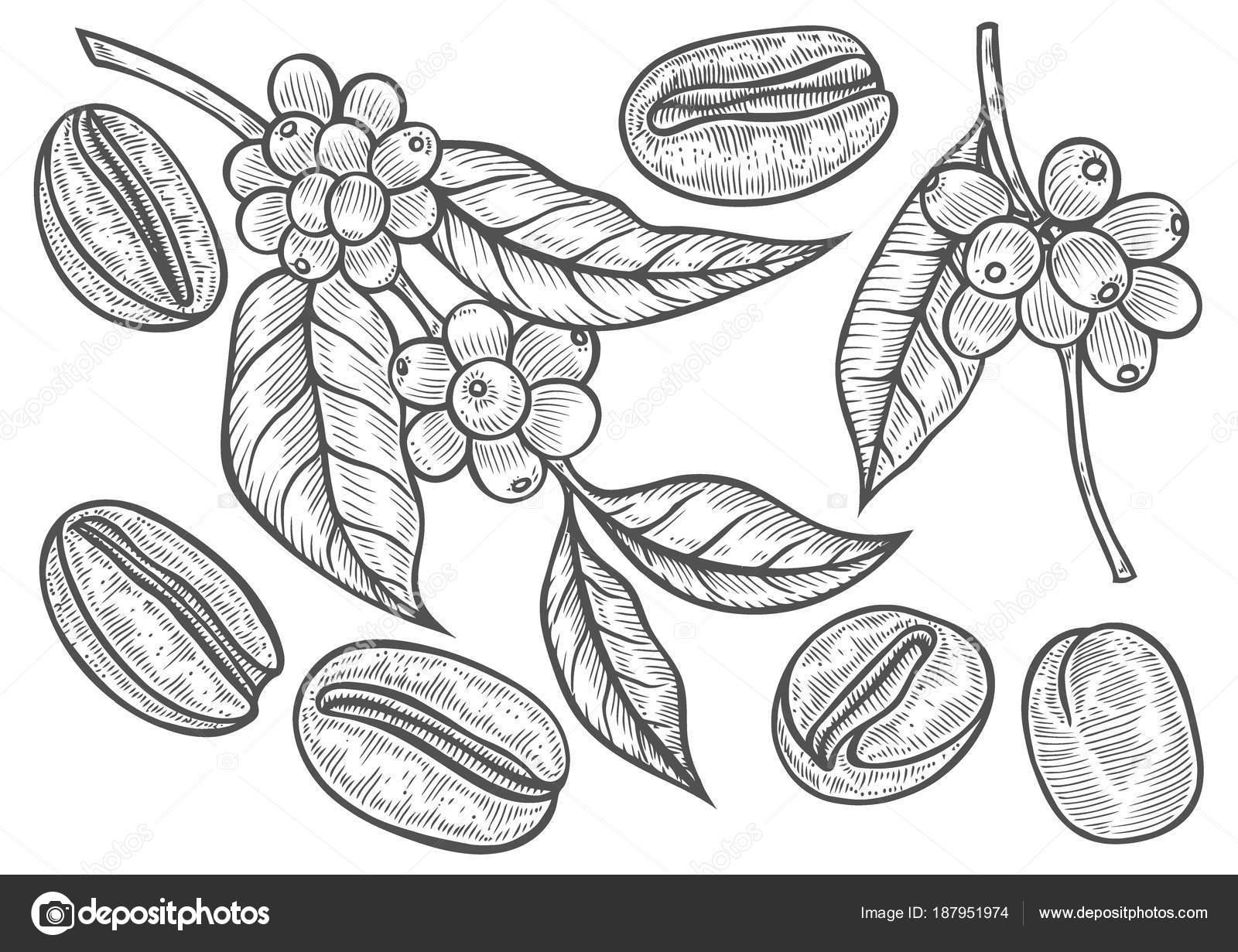 Planta De Cafe Para Pintar Ilustración De Rama Café