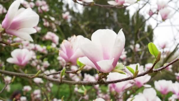 Magnolia flowers blossom