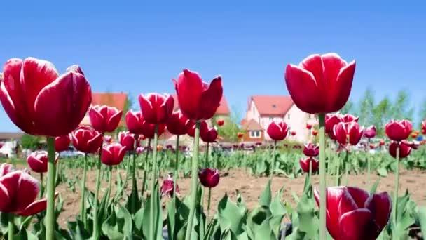 Területén virágok piros tulipán
