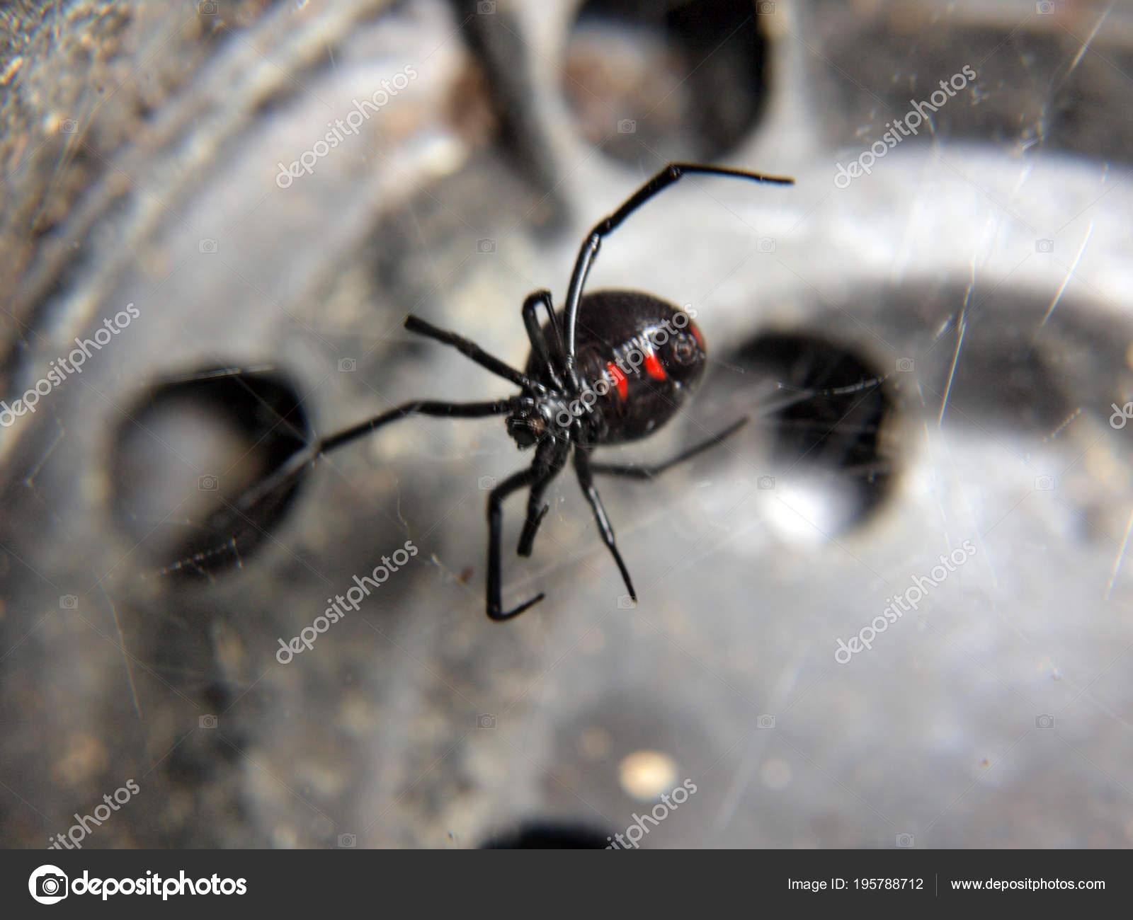 Een Zwarte Weduwe Spin Binnen Een Lege Zwarte Bloempot — Stockfoto