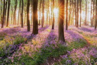 Beautiful woodland bluebell forest in spring. Purple and pink flowers under tree canopys with sunrise at dawn stock vector