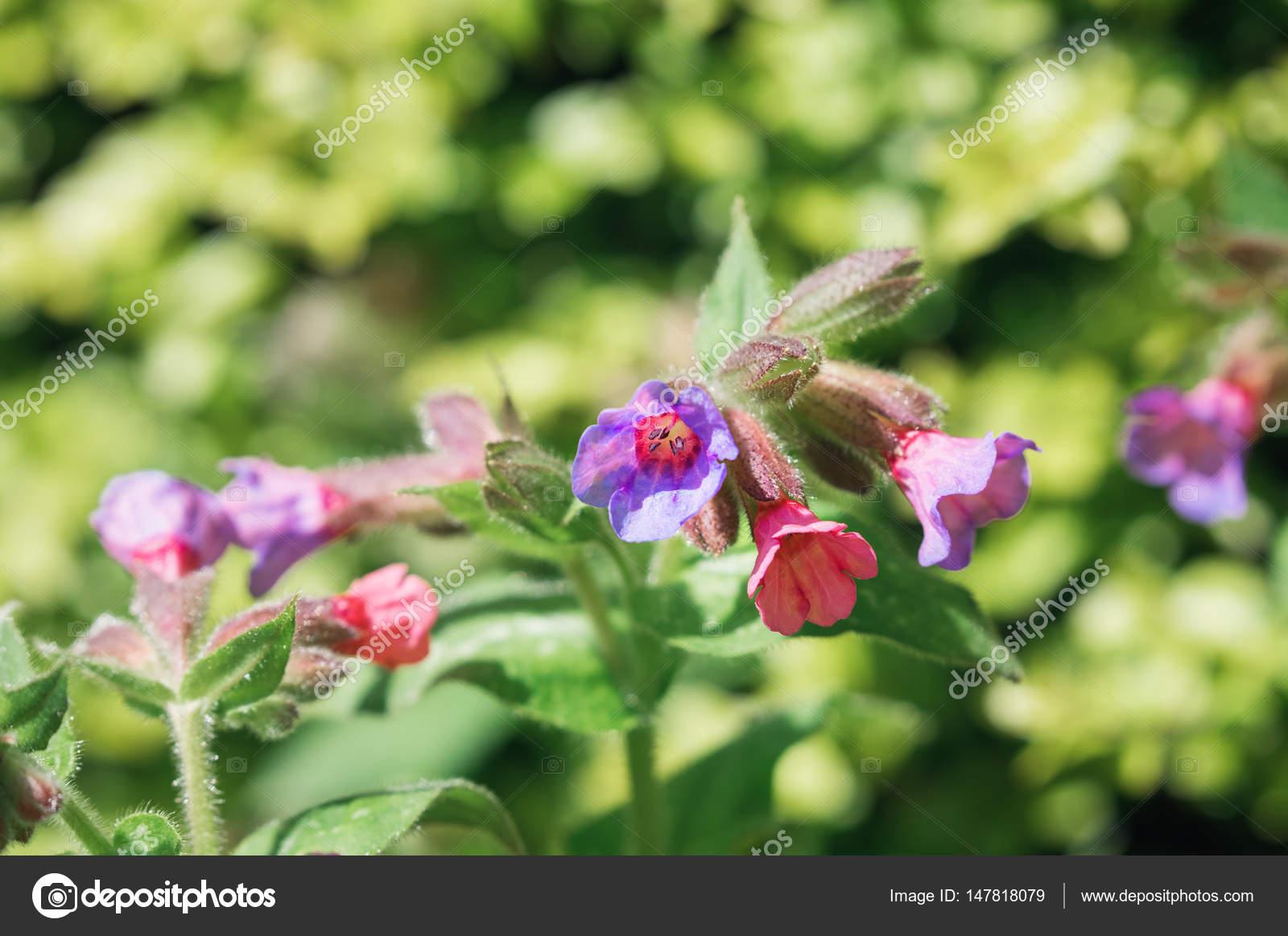 Медуница цветы на лугу — Стоковое фото © rixipix #147818079