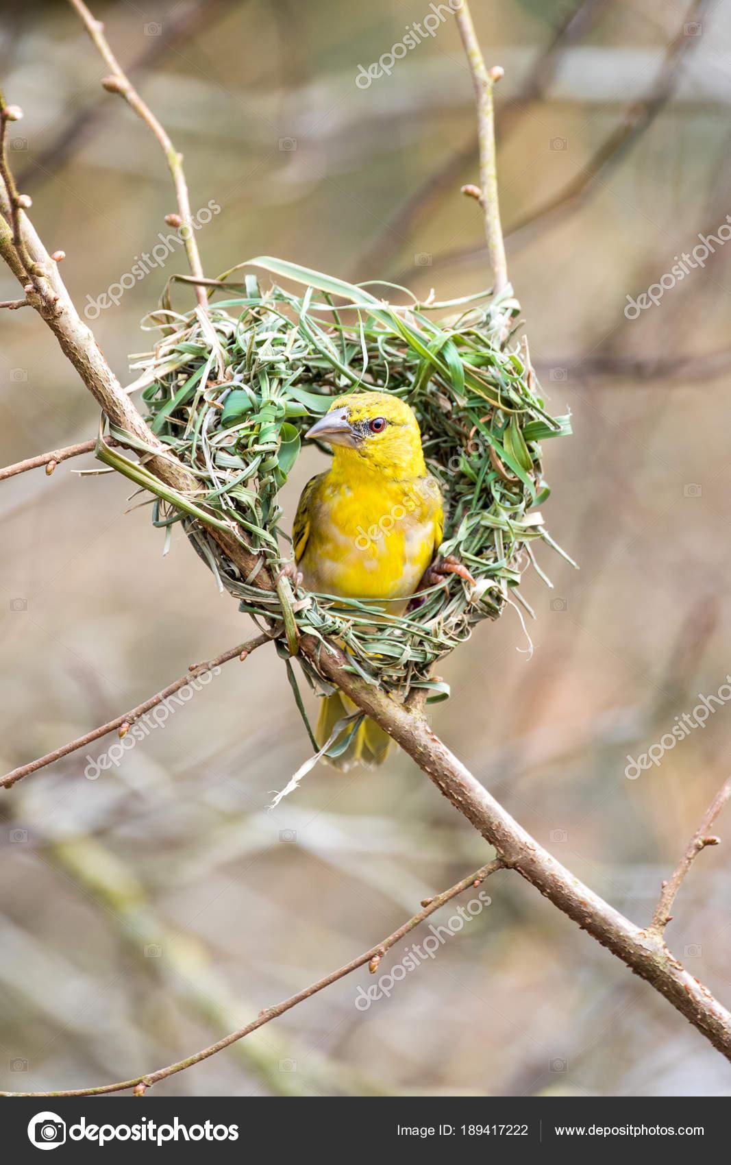 Pictures Birds Building Nests Weaver Bird Building Nest
