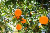 Fényképek narancsfa gyümölcsökkel