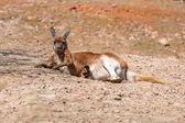 Fotografie Kangaroo lying down