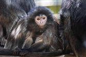 Photo The lutung monkey