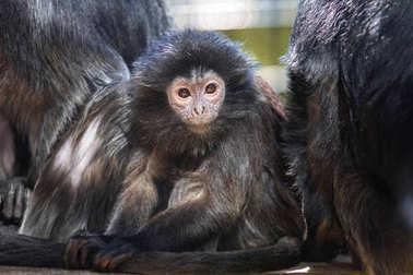 The lutung monkey