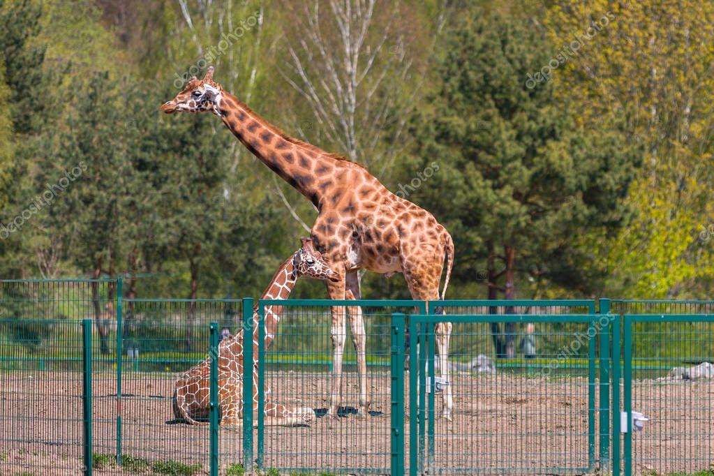 Giraffe in the wildlife