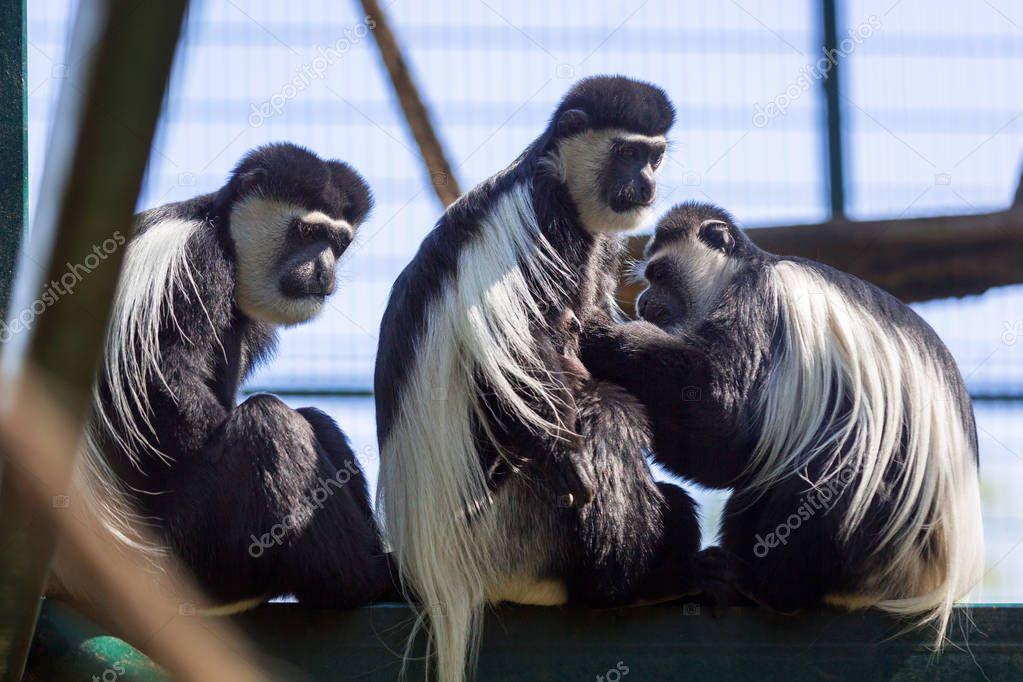 Mantled guerezas monkeys