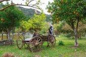Fényképek Narancssárga gyümölcs kert