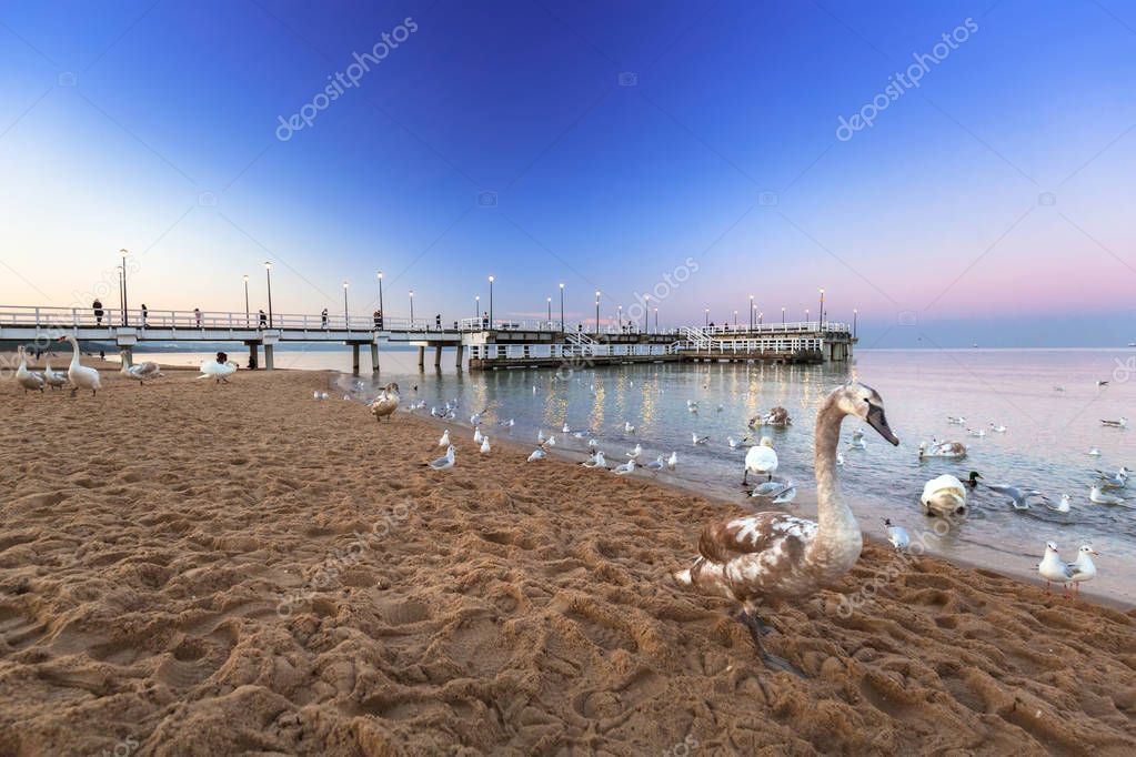 Swans at the Pier in at Baltic Sea at dusk, Poland