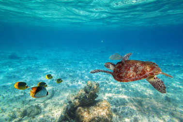 Green turtle swimming in the tropical water of Caribbean Sea