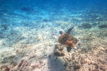 Green turtle swimming in the Caribbean sea of Mexico