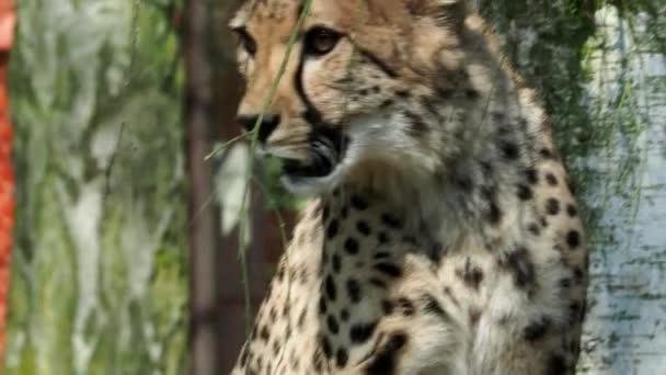Portrét gepard (Acinonyx jubatus). Odpočívající gepard