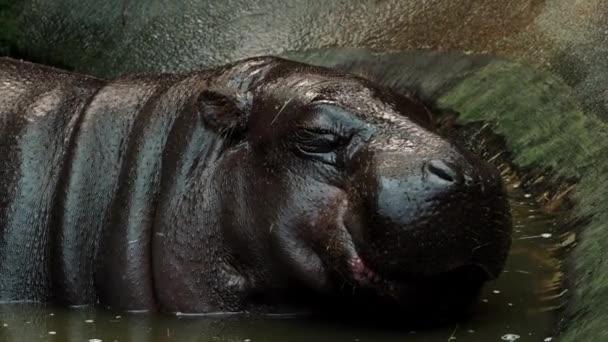 Pygmäen Nilpferd im Wasser - Hexaprotodon Liberiensis. Liberianische Hippo.