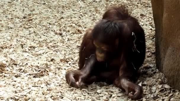 junger Orang-Utan (Pongo pygmaeus))