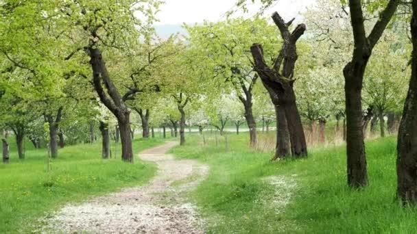 Park nyomvonal tavaszi virágzó cseresznyefák között. Park, virágzó fák és a zöld fű.