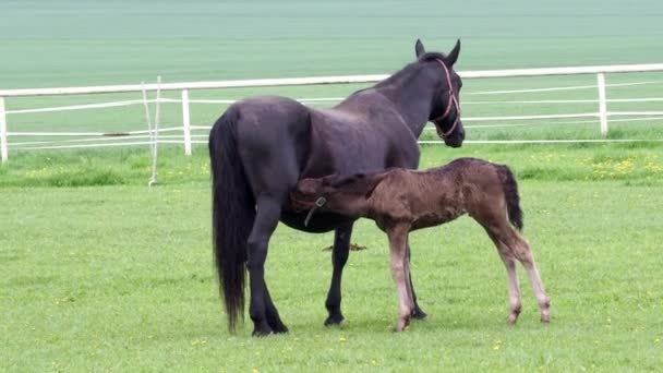 Fekete kladrubian ló, kanca csikóval