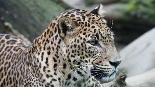 Ceylon leopard, Panthera pardus kotiya beautiful animal and his portrait.