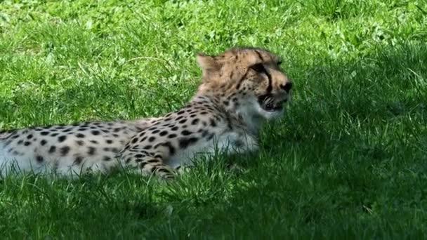 Cheetah at rest. Cheetah portrait (Acinonyx jubatus).
