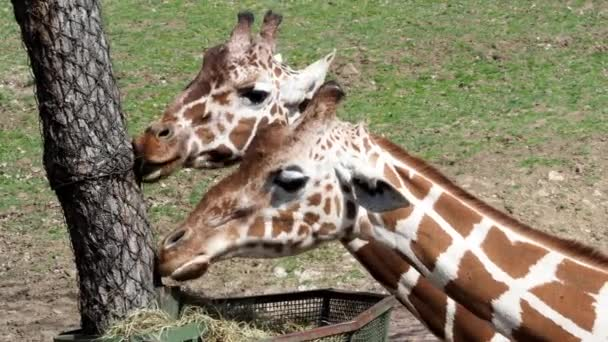 Žirafa jíst seno z koše. (Giraffa camelopardalis reticulata)
