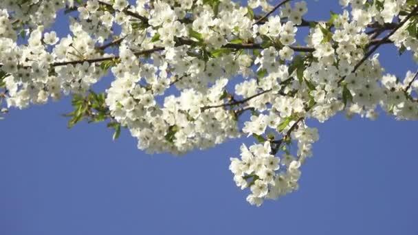 Tavaszi cseresznyefavirág és kék ég