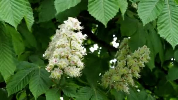 Flowers of chestnut trees in spring in the park. (Aesculus hippocastanum)