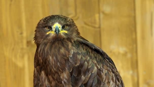 The steppe eagle is a bird of prey. (Aquila rapax)