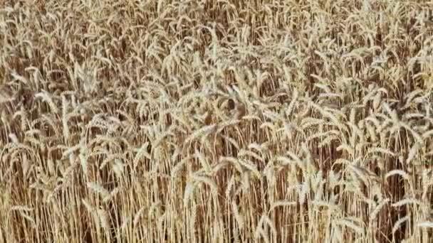 Búzamező. Arany búzafül a mezőn. Mezőgazdasági növénykultúra.