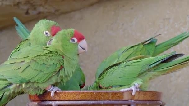 Papagájok csoportja (Psittacara frontatus). Zöld papagájok.