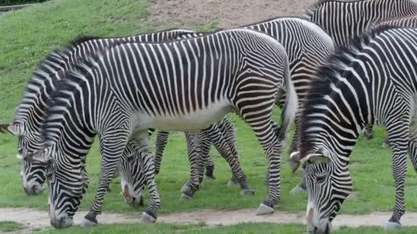 Csorda a Grevy-Zebra (Equus grevyi) legelő a zöld fű