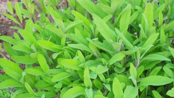 Zsálya - salvia officinalis. Gyógynövények a kertben
