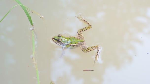 Sumpffrosch (pelophylax ridibundus) in einem Teich. Grüner Frosch mit Kopf über Wasser.